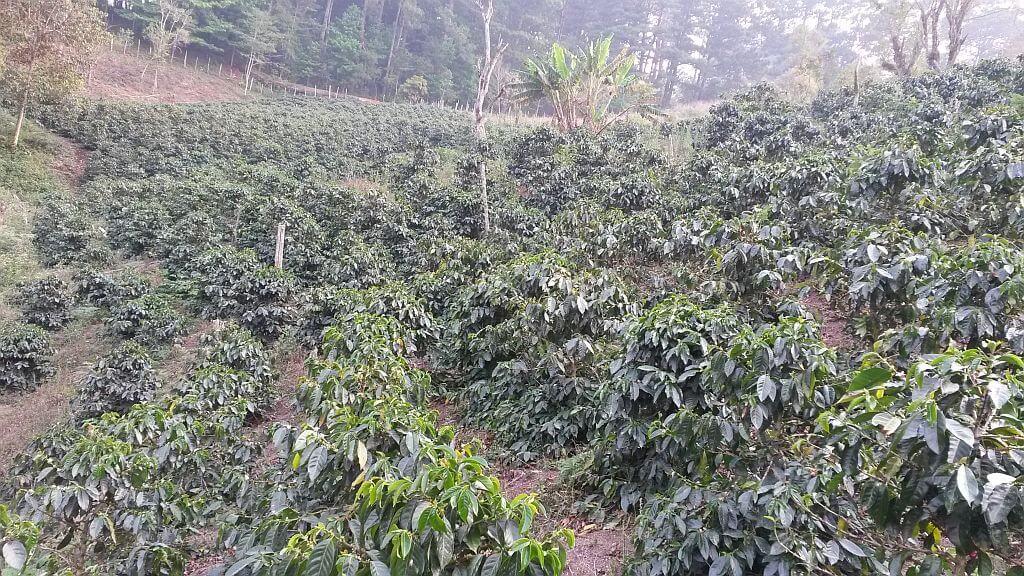 Coffee plantation in Los Puentes
