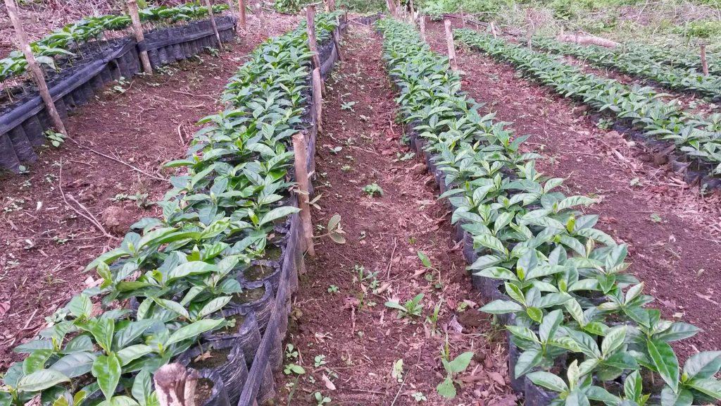 coffee plants in the nursery